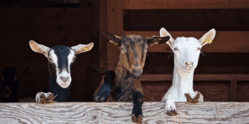Three goats on a farm while working away to travel for under $1000 a month