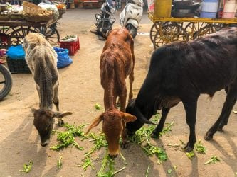 three cows eating while Visiting Pushkar India